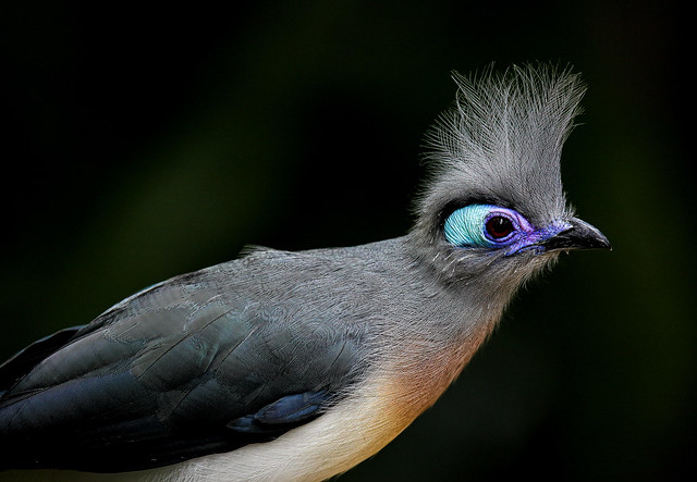 Northern Crested Coua