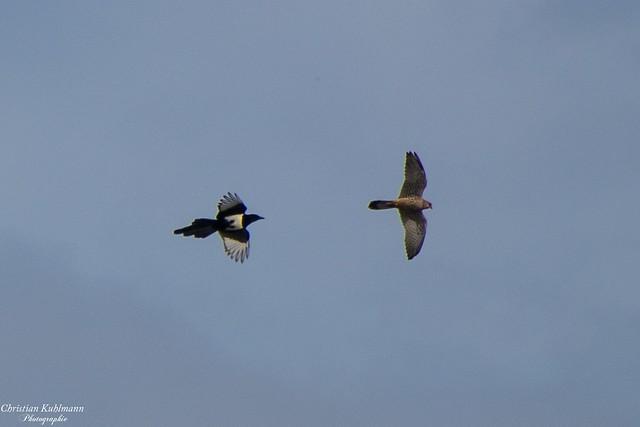 Flugshow, Falke vs. Elster