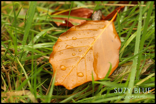 Beech leaf | by suzypud