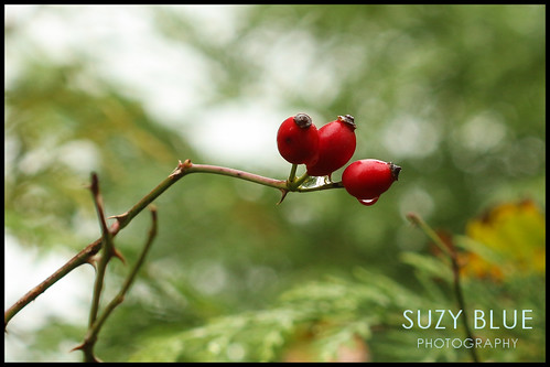 Dog rose hips | by suzypud