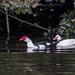 "<p><a href=""https://www.flickr.com/people/dunnock_d/"">Dunnock_D</a> posted a photo:</p>  <p><a href=""https://www.flickr.com/photos/dunnock_d/50527575201/"" title=""Two shelducks swimming, 2020 Oct 24 -- photo 2""><img src=""https://live.staticflickr.com/65535/50527575201_69ec0e2ea1_m.jpg"" width=""240"" height=""180"" alt=""Two shelducks swimming, 2020 Oct 24 -- photo 2"" /></a></p>  <p>Chester, England<br /> <br /> Filename: DSC01953a</p>"