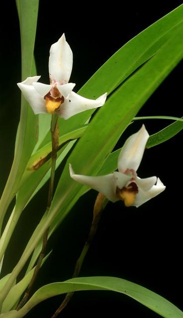 Maxillaria lehmannii