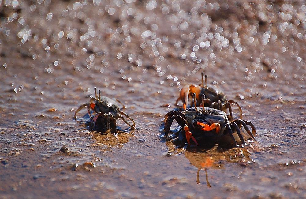 _fiddler_crabs_4_
