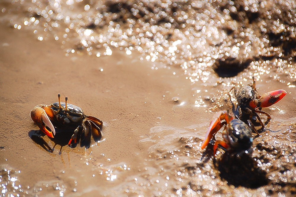 _fiddler_crabs_6_
