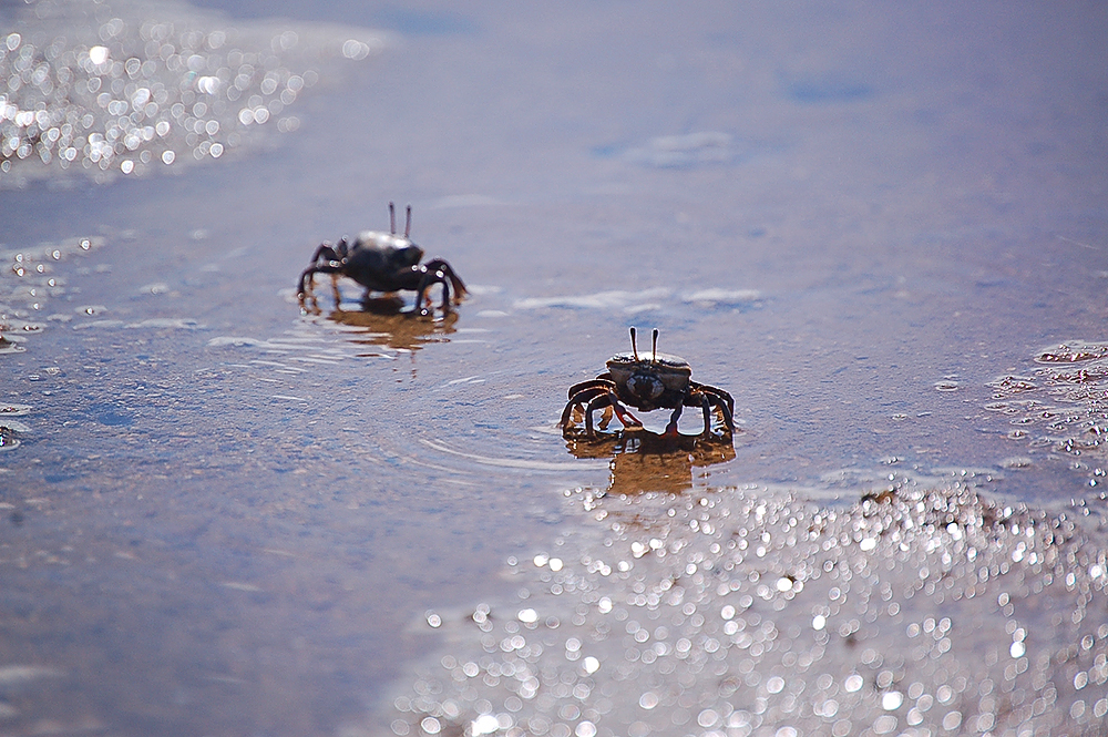 _fiddler_crabs_7_