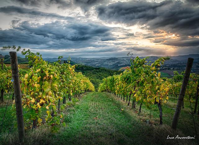 Marche vineyards
