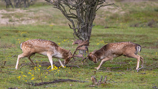 rattling ( Deer Battle For Dominance ) | by Alex Verweij
