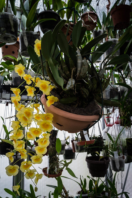 25102020 Dendrobium lindenii (1)