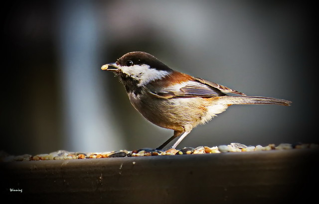 Chestnut-backed Chickadee 5071