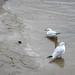 """<p><a href=""""https://www.flickr.com/people/dunnock_d/"""">Dunnock_D</a> posted a photo:</p>  <p><a href=""""https://www.flickr.com/photos/dunnock_d/50527729237/"""" title=""""Two black-headed gulls, 2020 Oct 24""""><img src=""""https://live.staticflickr.com/65535/50527729237_7a8d3b1967_m.jpg"""" width=""""240"""" height=""""180"""" alt=""""Two black-headed gulls, 2020 Oct 24"""" /></a></p>  <p>&quot;Chroicocephalus ridibundus&quot; seen from Edgar's Field, Chester, England<br /> <br /> Filename: DSC01963a</p>"""