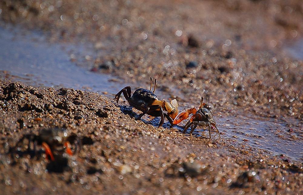 _fiddler_crabs_5a_