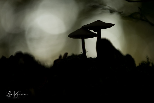 Mycena Silhouet