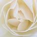 White Rose (III), 4.19.17
