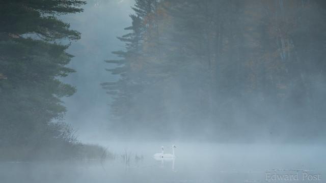 Trumpeter Swan (Cygnus buccinator) in the fog