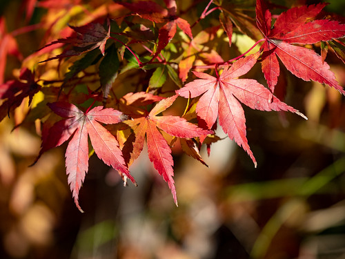 Red Leaves | by Jyoti Mishra