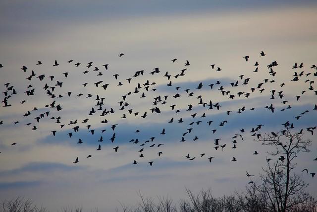 Migration / Pigeons