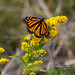 Danaus Plexippus: The Sleepy Transformation
