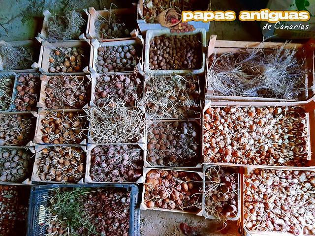 Papas de semilla