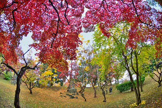 Autumn,Maples | by Vincent_Ting