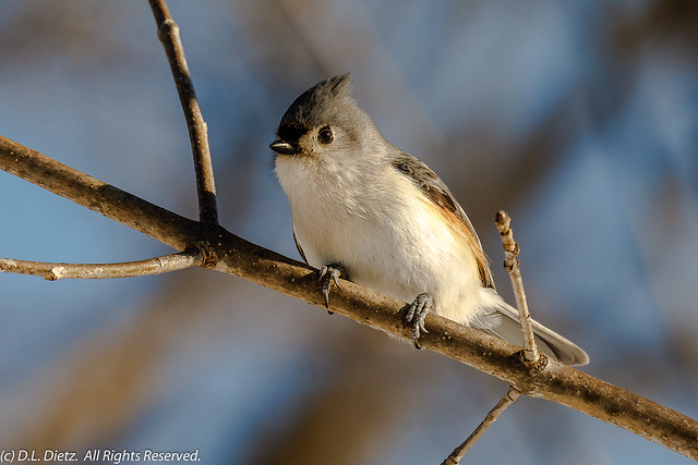 Tufted Titmouse #2 - 2020-02-29