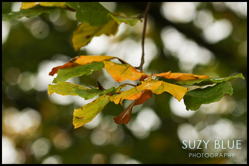 Beech leaves | by suzypud