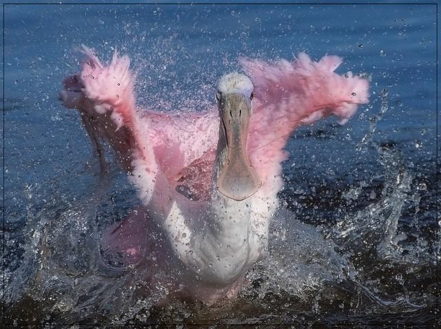 Bathing Roseate Spoonbill!