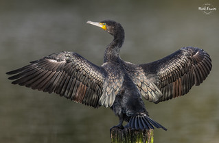 Cormorant Drying Out In The Sun | by Mick Erwin