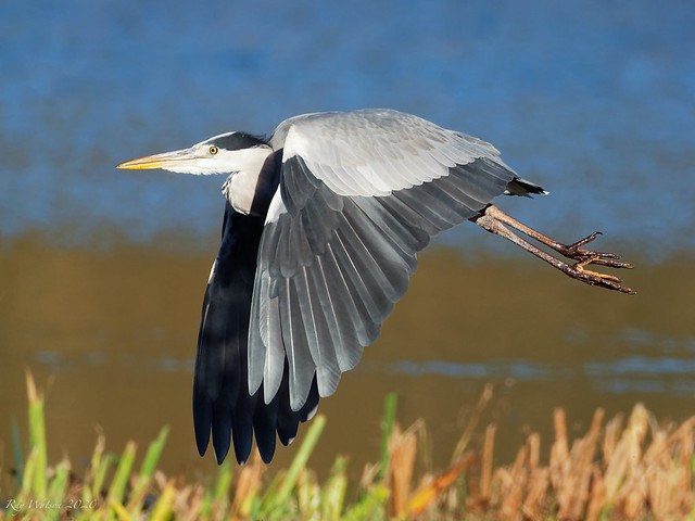In-flight Heron