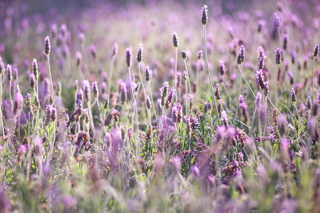 Lavender Photo Art