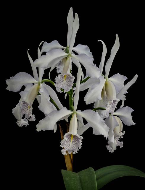 25102020 Cattleya maxima var. coerulea 'Hegau' (3)