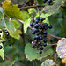 Fox Grape / Winter Grape
