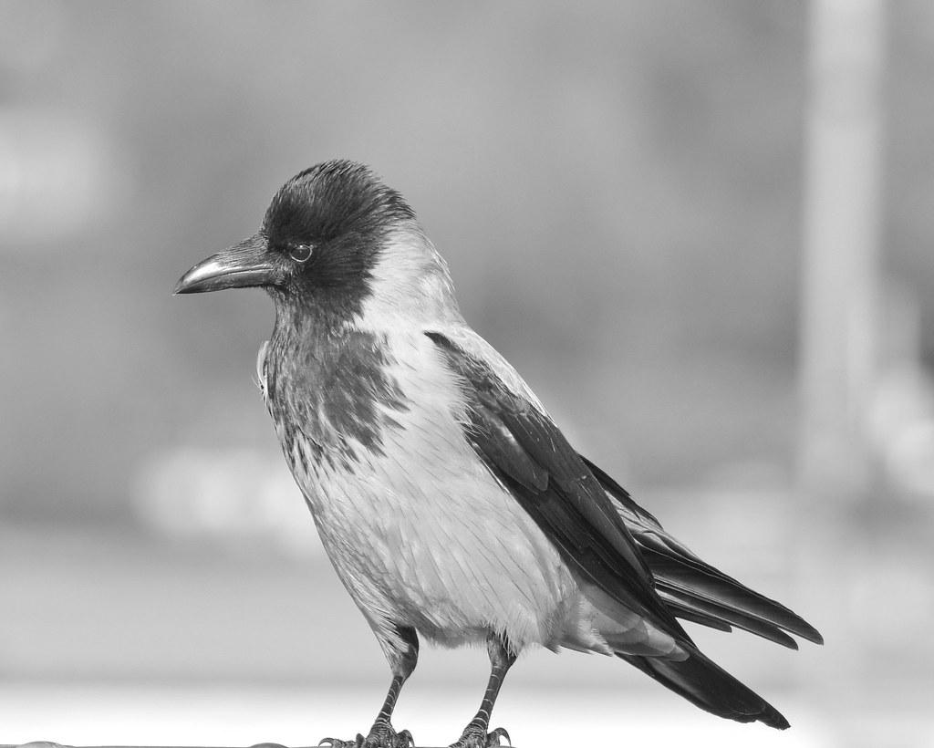Grey (Hooded) Crow