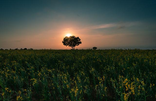 夕陽之樹-台中