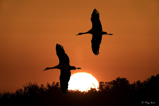 Sandhill Cranes Sunset