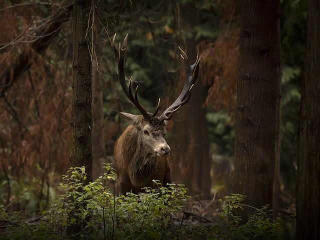 Red-deer_0839
