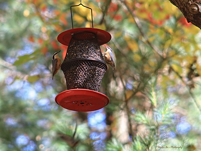 Red-breasted Nuthatches