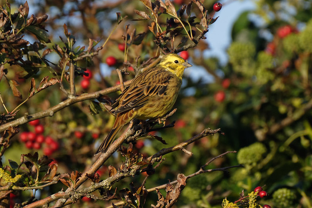 Yellowhammer in the sun