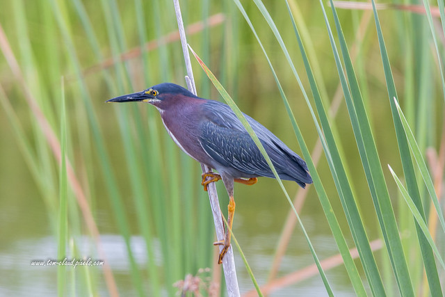 Green Heron on Reed