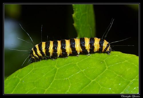 Tyria jacobaeae caterpillar