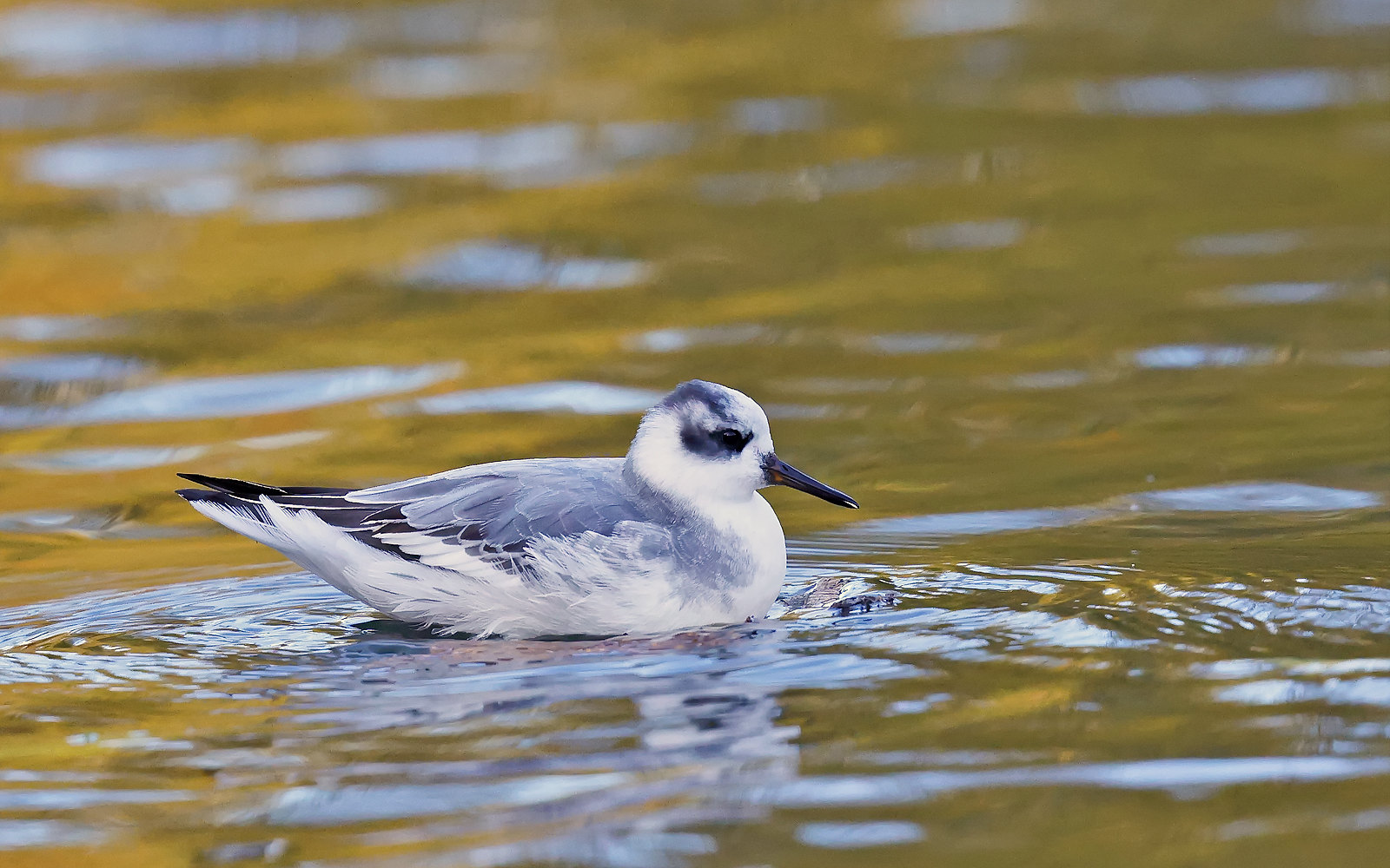 Grey Phalarope - 1st winter