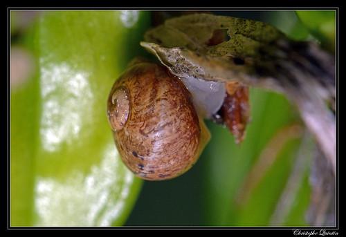 Petit-gris juvénile (Cornu aspersum)