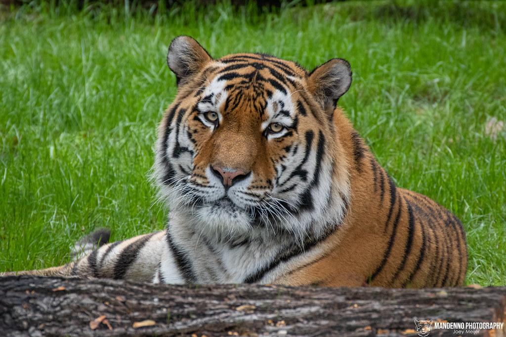 Siberian Tiger - Koln Zoo - Germany