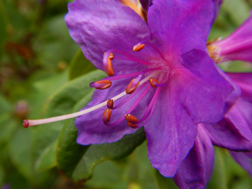 The purple flower of an Ilam Rhododendron