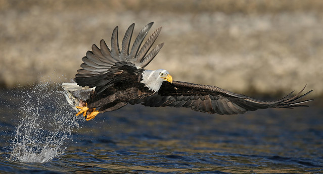 Eagle Season Starts in About 1 Month
