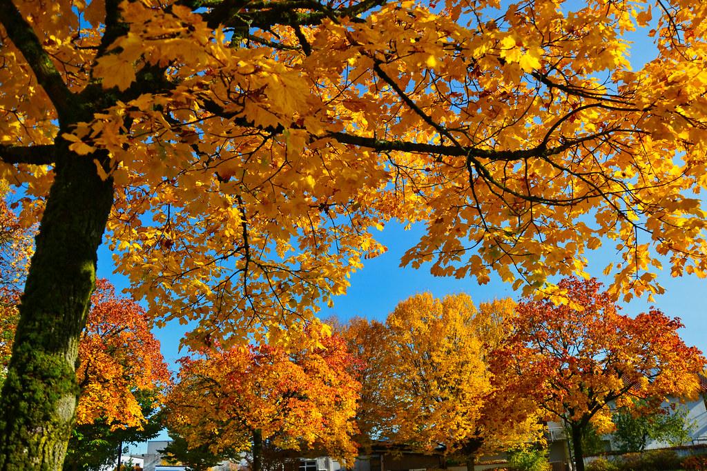 Autumn gold - explored! Thanks!!