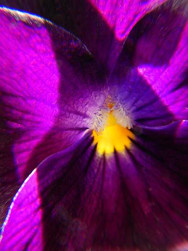 A deep violet 'Violet' flower