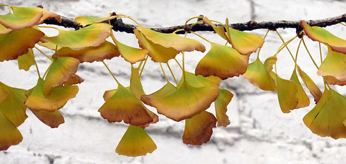 Yellow Ginko leaves in the late November fall in Vancouver