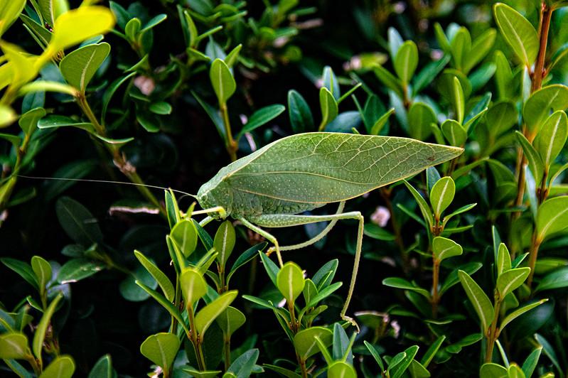 A grasshopper looking like a leaf.