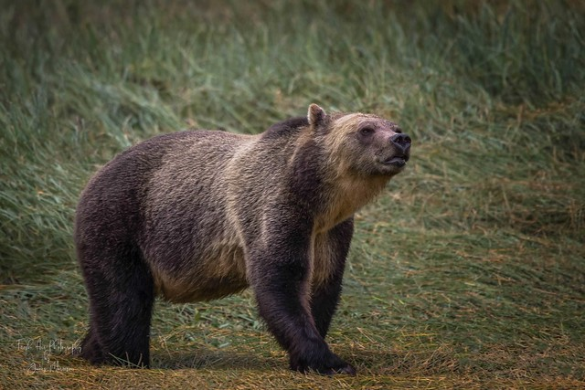 Grizzly Bear (Ursus arctos horribilis)  (One more photo of these beauties) Knight Inlet, BC