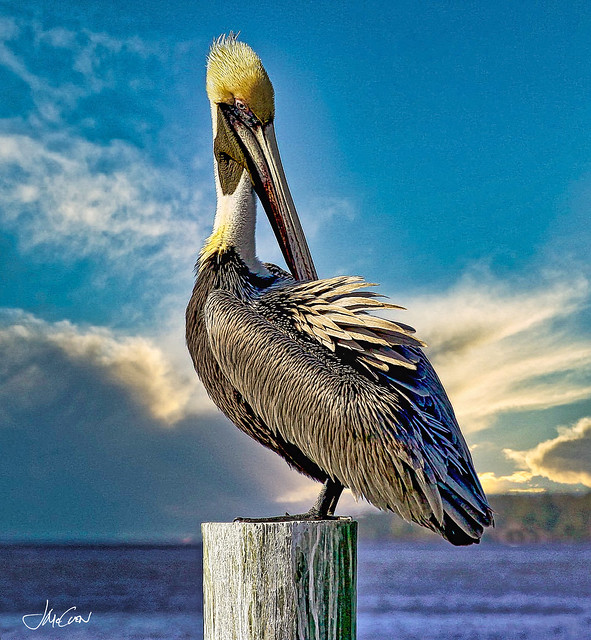 Brown Pelican on Florida Afternoon